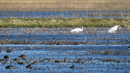 Study: Climate change affecting whooping cranes' migration patterns