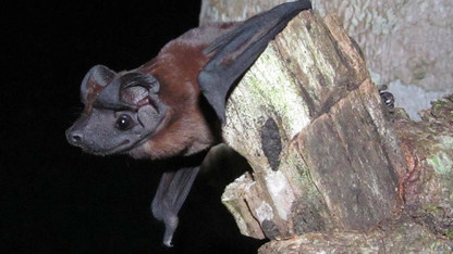 'Wicked cool': Bat species named after SNR professor, museum curator