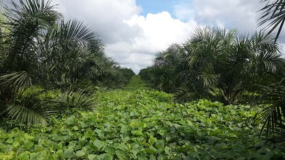 Husker research shows palm oil production can grow while protecting ecosystems