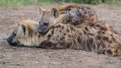 Great expectations? Falling short of status no laughing matter for hyenas