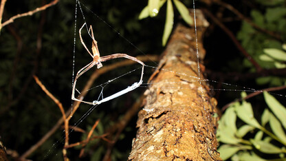 Look down, listen up: Wide-eyed spider relies on sound for airborne ambushes