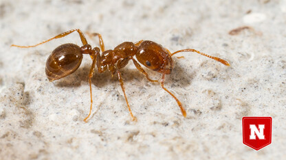 Fire away: Removing invasive ants could boost burrow ecosystems