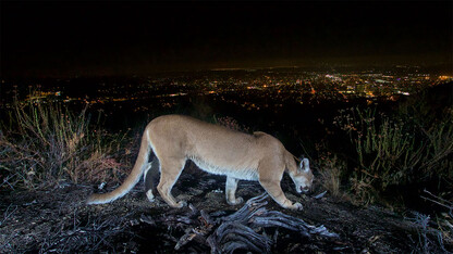 Mountain lions moved less, downsized territory during LA's pandemic shutdown