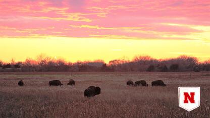 Losing ground? Dense bison herds may threaten nesting bird species