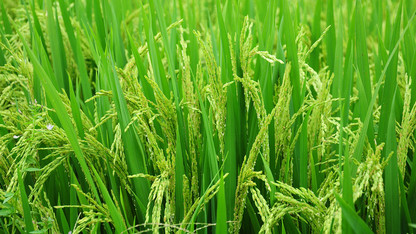 Yield-gap study finds China can meet rice demand despite land changes