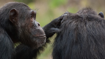 Study: Humans, chimps share cognitive connection