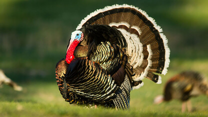 Nebraskans took to turkey hunting during shutdown