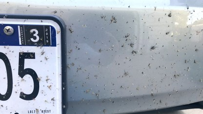 Mosquito numbers up, soon to be joined by fall pests