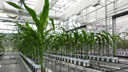 Study in contrasts: System advances analysis of corn