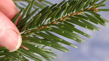 Forester offers tips on keeping holiday trees fresh
