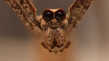 Jeepers creepers: Massive spider eyes shrink 25% in adulthood
