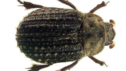 Entomologist describes new Nebraska beetle species