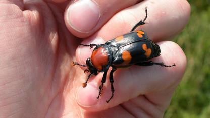 Husker examines buried secrets of endangered beetle