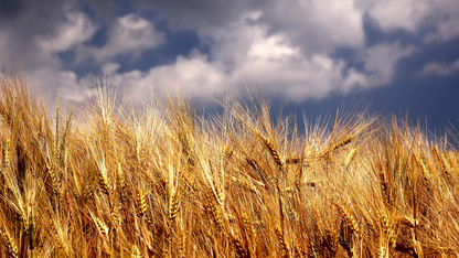 Research raises concerns about global crop yield projections