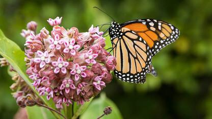 Milkweed education project gets grant from Nebraska Environmental Trust