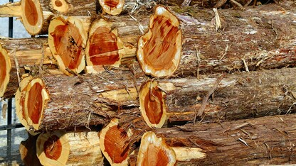 Researchers studying redcedar as construction material