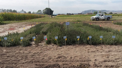 Research examining viability of mint as new Panhandle crop
