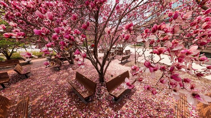 Magnolia trees on Nebraska campus
