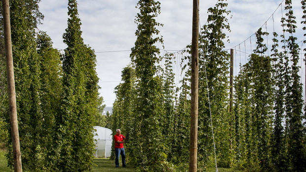 Stacy Adams examines hops on bines growing on Nebraska's East Campus.