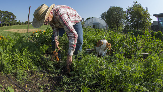 Nash Leef harvests carrots as his dog, Santiago, watches the process. Leef said he works an average 20 to 30 hours in the garden every week of the growing season. To reduce those hours, he plans to recruit more students to assist with the project.