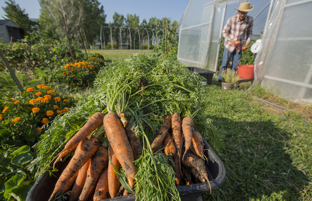 Harvested carrots fill a bin at Bugeater Farms. Produce grown in the student garden is being donated to People's City Mission, a homeless shelter in Lincoln.