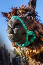 Mahogany the alpaca