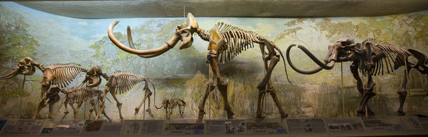 The University of Nebraska State Museum's Elephant Hall highlights the differences in current elephants (left) and mammoths (middle and right). Pictured (from left) is an African elephant; an Asian elephant with a juvenile; dwarf mammoth; Archie, a Columbian mammoth; and a Jefferson mammoth.