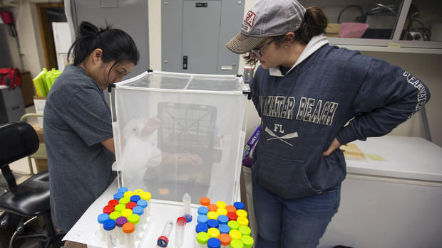 Judy Wu-Smart (left), assistant professor of entomology and leader of the Bee Lab, sorts bumblebees for a research project as a student looks on.