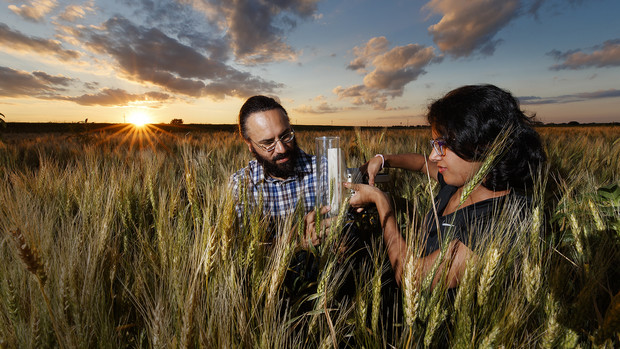 Harkamal Walia, associate professor of agronomy and horticulture, and Jaspreet-Kaur Sandhu, graduate research assistant, measure the carbon being expired by a head of wheat.  Walia's research involves measuring the amount of energy a plant uses at night and the relationship how increasing temperatures forces plants to spend less energy producing grain.