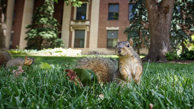 Campus squirrels seem to be anticipating the return of students, faculty and staff on campus for the fall semester.