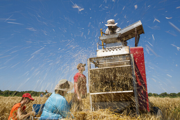 Chaff flies as Stephen Baenziger's research team thrashes wheat samples on July 8.