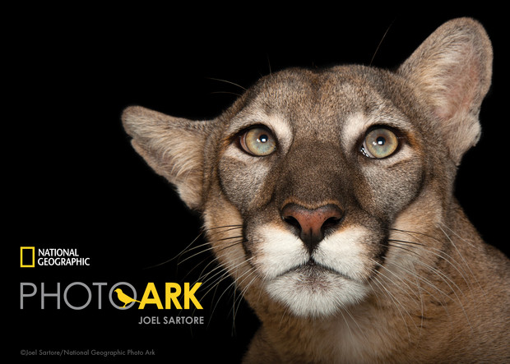 A Florida panther (Puma concolor coryi)