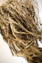 Corn roots