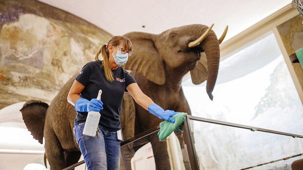 Crystal Kirschbaum sanitizes an exhibit railing under the watchful eye of a male African elephant. Morrill Hall will reopen Aug. 5 with new procedures to keep patrons healthy and safe.