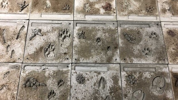 """A 35-foot hopscotch game in the third floor hallway of Morrill Hall will be a highlight of the """"Poop & Paws"""" exhibit. Tiles were molded from cement, with silicone imprints used to make tracks and poop piles hand crafted in a separate step."""
