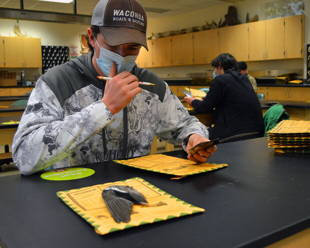 School of Natural Resources junior Hunter Suchsland considers the markings on a wigeon's wing before determining if it belonged to an immature or mature male or female. Due to the coronavirus, the Central Flyway Wingbee in Kansas was canceled this year and wings were sent instead to longtime Wingbee participants, who brought in help to identify the samples.
