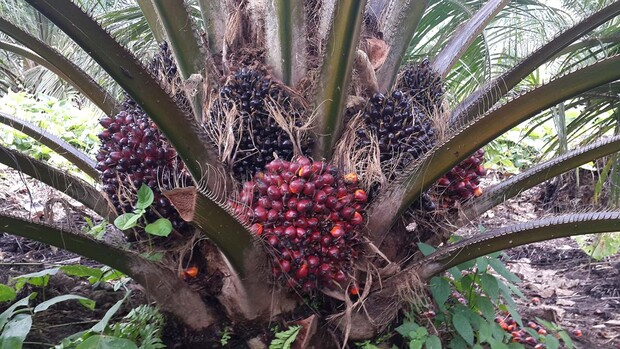 Bunches in an oil palm plantation in Indonesia. It takes about 38 weeks from initiation until bunches are ready to be harvested.