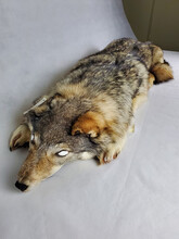 A preserved gray wolf fur