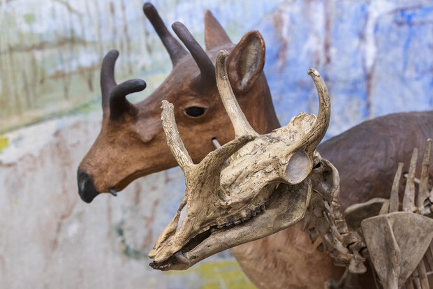 Four-horned antelope close up