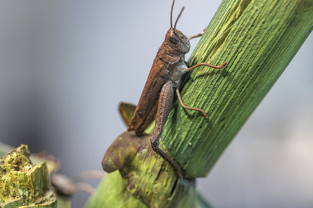 A close-up of a model Rocky Mountain locust