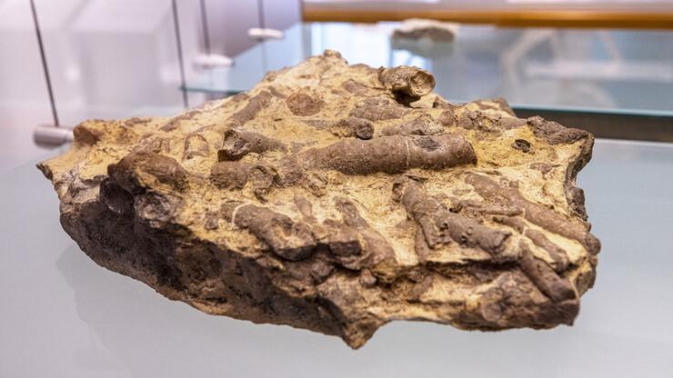 Fossilized Pennsylvania coral