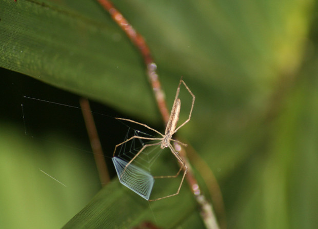 The net-casting spider Deinopis spinosa is shown holding the band of wooly silk that it uses to engulf and capture prey. UNL doctoral student Jay Stafstrom spent two months in a Florida state park observing the spider's hunting behavior.