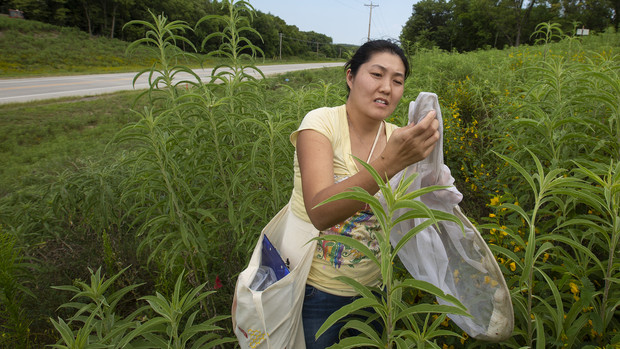 Judy Wu-Smart, director of the Nebraska Bee Lab, wrangles a bumblebee from a net as part of Kayla Mollet's research project near Union.