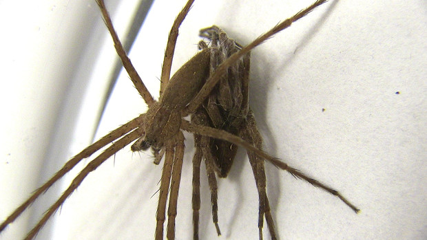 A male nursery-web spider is shown wrapping his female partner's forelegs prior to sex. A study from UNL researchers found that males engaging in the practice survived sexual encounters about seven times more often than those that did not.