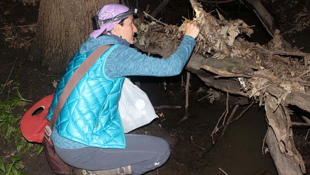 Eileen Hebets searches for fishing spiders at Lincoln's Wilderness Park last spring.