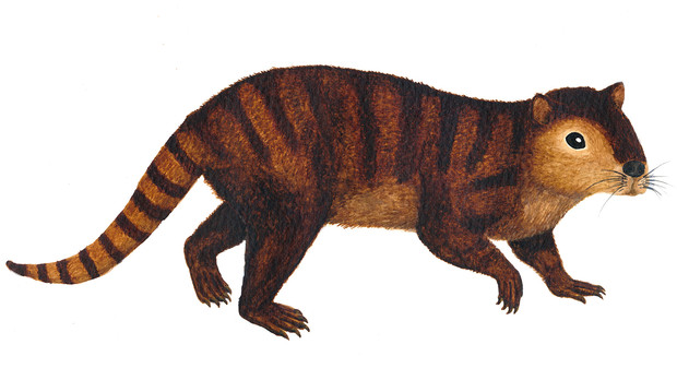 Reconstruction drawing of a kimbetopalis.