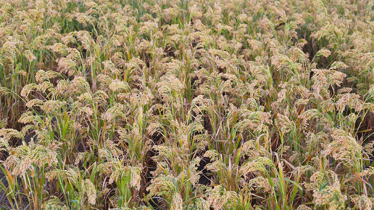 A field of proso millet