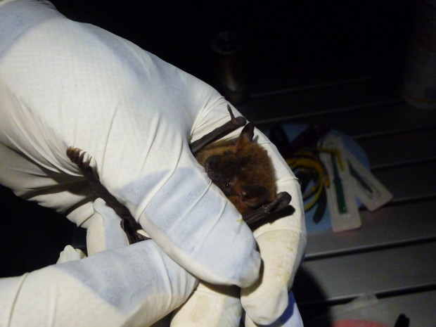 A researcher allows a captured big brown bat to bite because it calms the creature. Researchers wears leather gloves covered by rubber gloves to protect against bites and to avoid spreading white-nose syndrome.