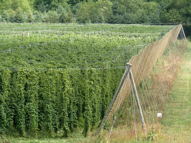 Hops bines in a field.