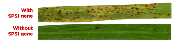 Rice with and without SPS1 gene